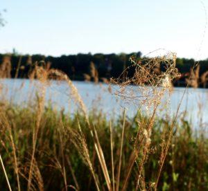 Ufergräser